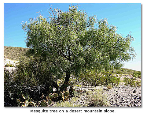how to grow a mesquite tree from a cutting